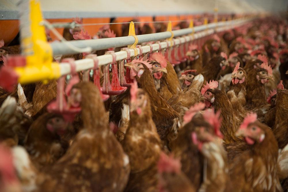 Abbeveratoi per polli, galline ovaiole, tacchini - Abbeveratoi automatici a goccia 6