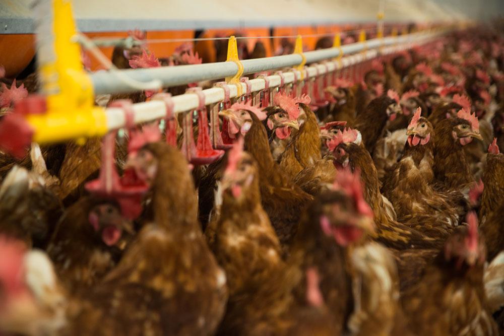 Abbeveratoi per polli, galline ovaiole, tacchini