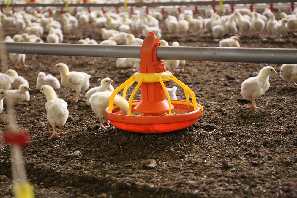 Mangiatoie per polli automatiche antispreco - Eos